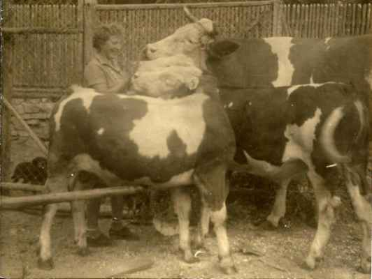 Milena Vosáhlová s krávou a jejími telaty - dvojčaty.