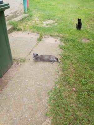 10.8.2020 - V Rohatci řešíme případ rozmnožených koček ke kterým se nikdo nehlásí, kočky odchytáváme, kastrujeme. Většina se bude vracet na původní místo, ale kočka (Sára) a dvě koťata (Lejla a McPhee) nejsou plaché, mají krásnou šedivou barvu a tak jsme je přijali a budeme jim hledat nové domovy.