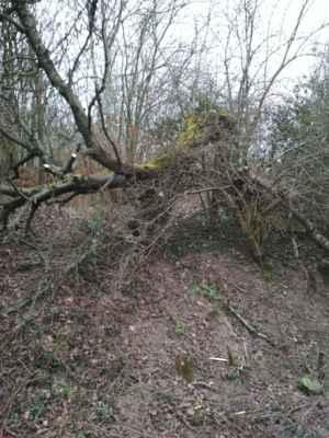 Stará zlomená třešeň u cesty od Nedvězí do Dražejova, která to ale vůbec nevzdává!
