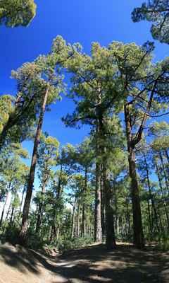 ...z Pico de La Nieve, cesta klesá dovýše okolo 2000 m.n.m. a začínají nádherné borové lesy - Los Pinos...