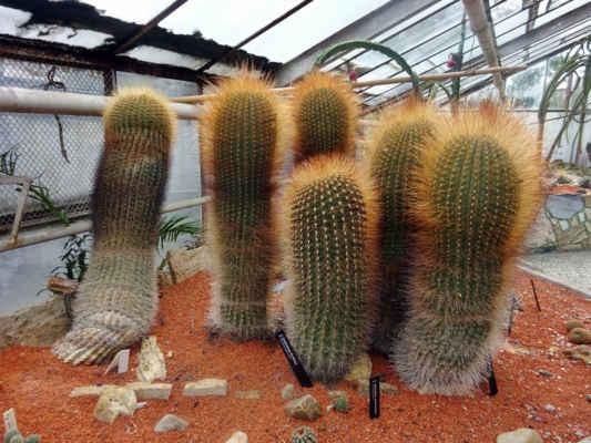 chlupatý kaktus, mám tak rád....