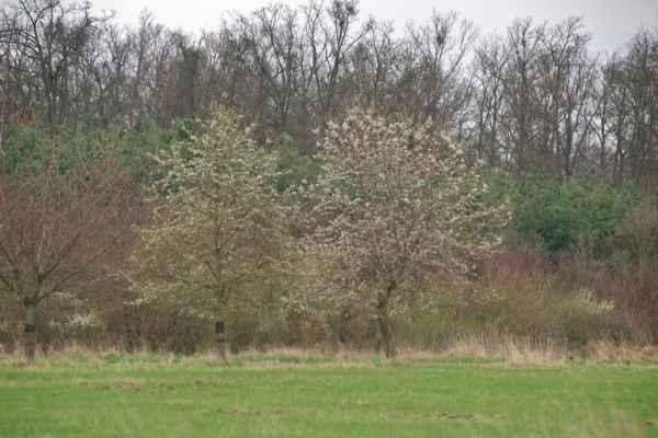 Začínají rozkvétat třešně - Třešňová alej u tréninkové dráhy u Najhúfa