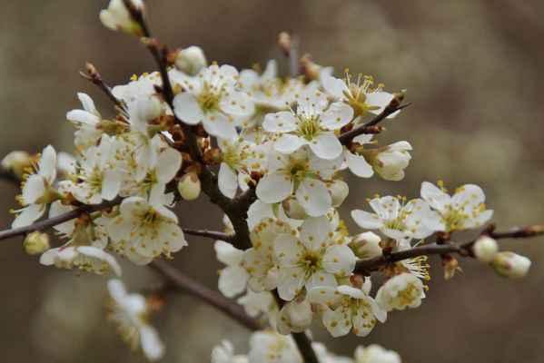 Svatební kytice - Rozkvetlé trnky hořce voní